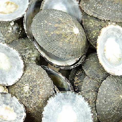 Coquillages cellana testudinaria - 100 grammes