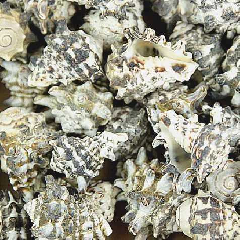 Coquillages vasum cornigerum - 250 grammes