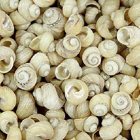 Coquillages euchelus nacrés - 100 grammes