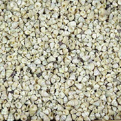 Coquillages trochus calliostoma striatus nacrés - 100 grammes
