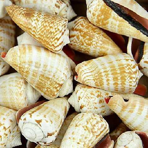 Coquillages strombus luhuanus - 250 grammes