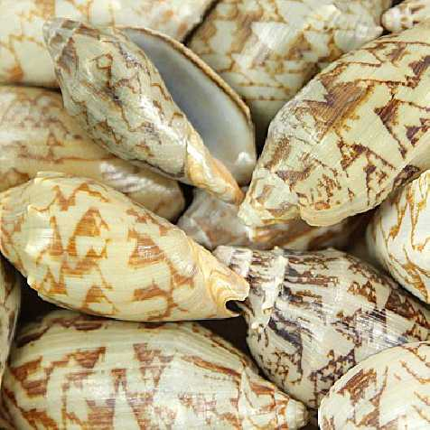 Coquillages voluta vespertilio - 250 grammes