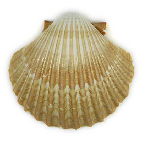 Coquillages pecten vogdesi creux - 7 à 9 cm - Lot de 5