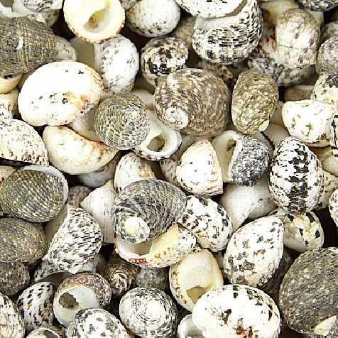 Coquillages nerita undata - 100 grammes