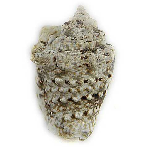 Coquillage strombus lentiginosus