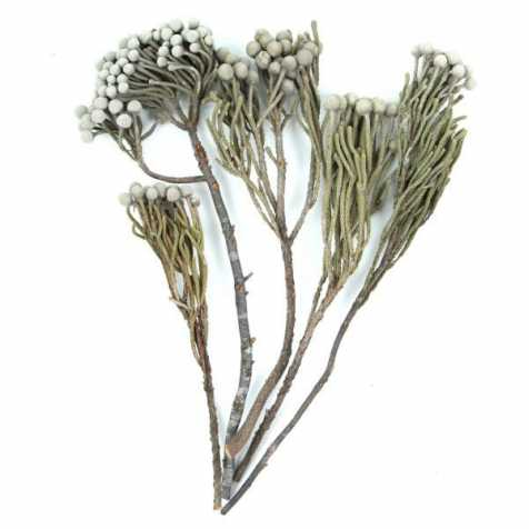 Branches de brunia silver - Lot de 5