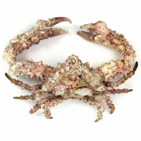 Crabe daldorfia horrida naturalisé