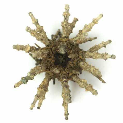 Oursin spoutnik eucidaris