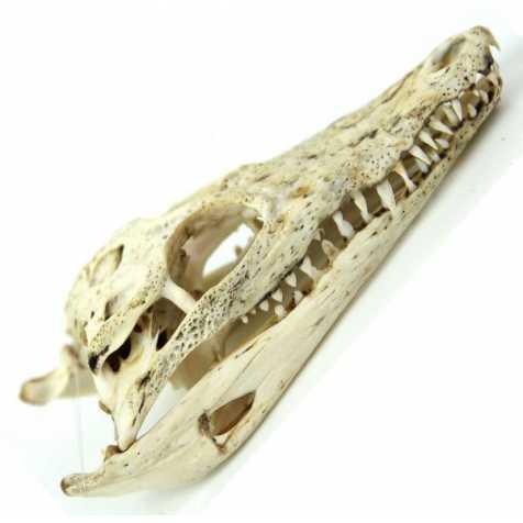 Crâne squelette de crocodile nicoticus