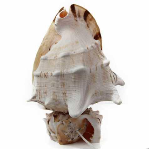 Lampe coquillage cassis cornuta