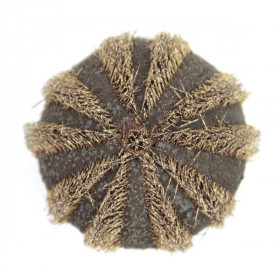 Oursin mespelia globulus