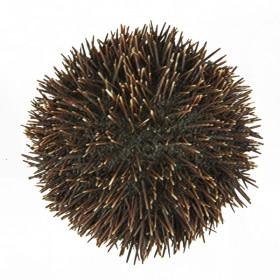 Oursin sphaerechinus granularis