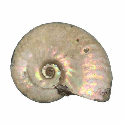Ammonite fossile entière gris-argent irisée