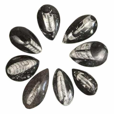 Orthoceras fossile poli - 4 à 6 cm - A l'unité