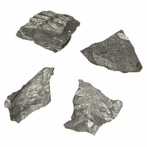 Alethopteris fossilisée - 4 à 5 cm - A l'unité