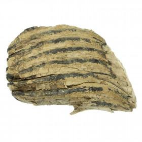 Molaire fossile de mammouth laineux primegenius - 16 cm