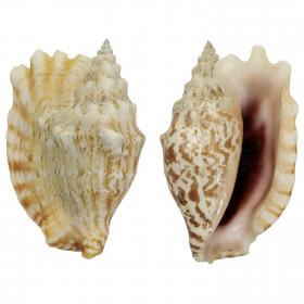 Coquillage strombus sinuatus
