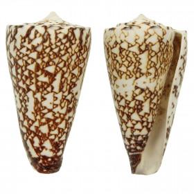 Coquillage conus thalassiarchus