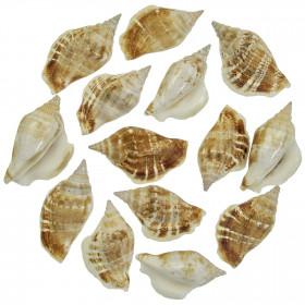 Coquillages strombus dilatatus - 6 à 7 cm - Lot de 2