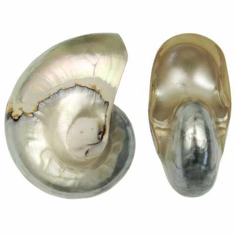 Coquillage nautillus nacré