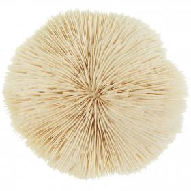 Corail fungia fungites