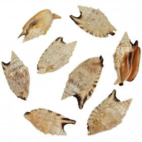 Coquillages strombus aratrum - 7 à 9 cm - Lot de 2