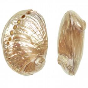 Coquillage haliotis laevigata nacré entier