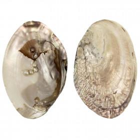 Coquillage moule perlière nacrée d'eau douce
