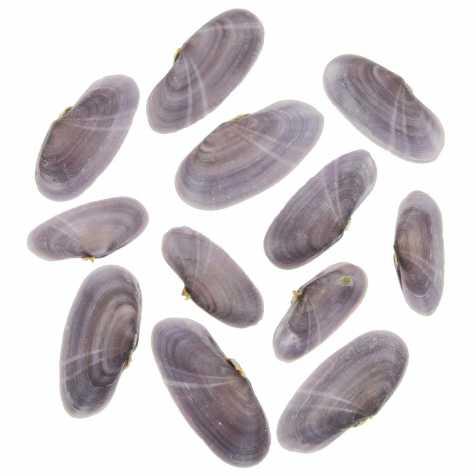 Coquillages tellina mauves entiers - 5.5 à 8 cm - Lot de 4