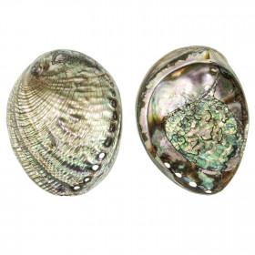 Coquillage haliotis fulgens nacré