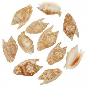 Coquillages strombus aurisdianae - 5 à 7 cm - Lot de 5