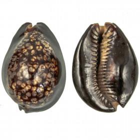 Coquillage cypraea mauritiana