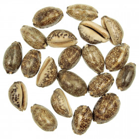 Coquillages cypraea arabica - 4 à 5 cm - Lot de 10
