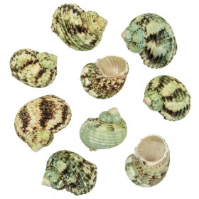 Coquillages turbo argyrostomus - 5 à 6 cm - Lot de 5