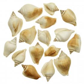 Coquillages strombus canarium - 4 à 6 cm - 100 grammes