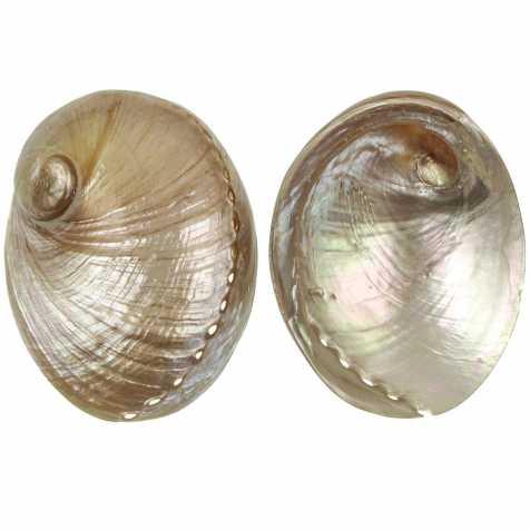 Coquillage haliotis laevigata nacré