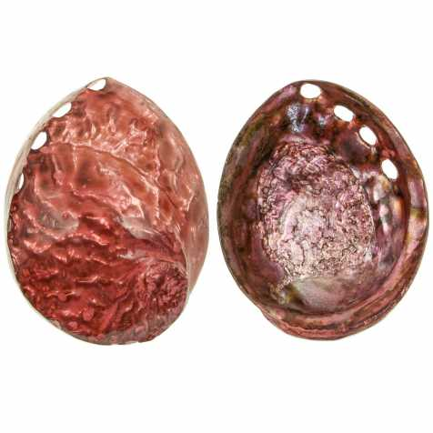 Coquillage haliotis corrugata nacré teinté rouge
