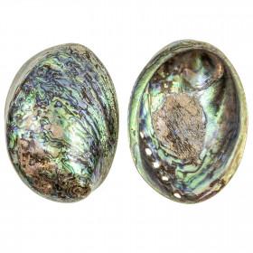 Coquillage haliotis abalone poli