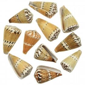 Coquillages conus capitaneus - 5 à 7 cm - Lot de 5