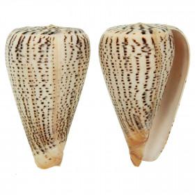 Coquillage conus suratensis