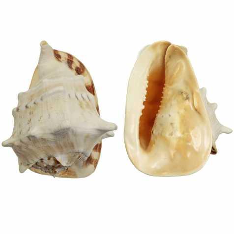 Coquillage cassis cornuta
