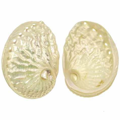 Coquillage haliotis ruber nacré