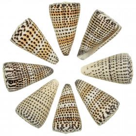 Coquillages conus litteratus - 6 à 8 cm - Lot de 2