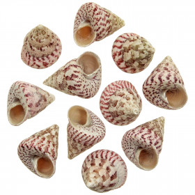 Coquillages trochus maculatus strawberry - 4 à 5 cm - Lot de 3