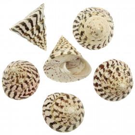 Coquillage trochus nicolitus
