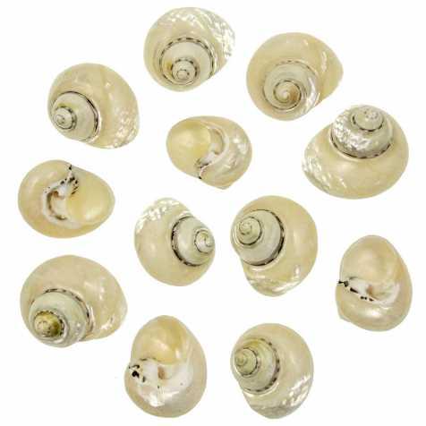 Coquillages cittarium pica nacrés polis - 4 à 5 cm - Lot de 2