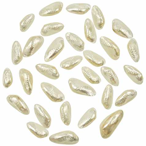 Coquillages scabies crispata nacrés entiers - 2.5 à 4 cm - lot de 4