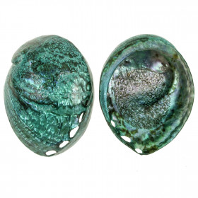 Coquillage haliotis corrugata nacré bleu-vert