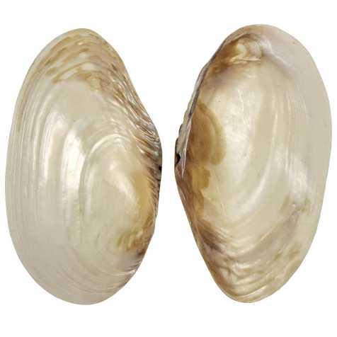 Coquillage mussel nacré