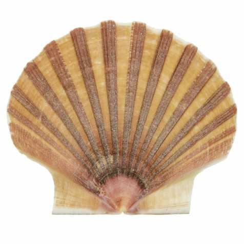 Coquillage pecten vogdesi plat - 7 à 10 cm - lot de 2